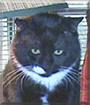 Biguy the Tuxedo Cat
