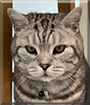 Hugo Boss the British Shorthair