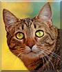 Tyson the Tabby, the Cat of the Day