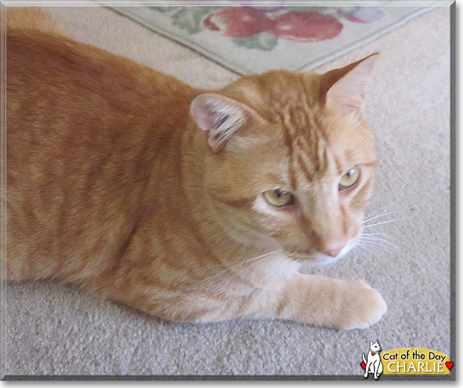 Charlie the Orange Tabby, the Cat of the Day