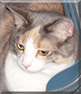 Cally the Dilute Calico