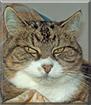 Lukka the Norwegian Forest Cat
