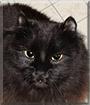 Kitty the Domestic Longhair