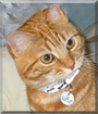 Logan the British Red Tabby