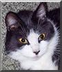 Nixxi the Tuxedo Cat