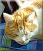 Moritz the Ginger Tabby