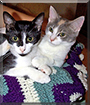 Spotsy and Egg Nog the Domestic Shorthairs