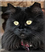 Michelle the Longhair Cat