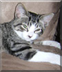 Bootsie the Tabby Cat