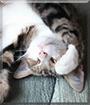 Norton the Tabby Cat