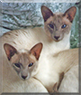 Bleu and Sapphire the Siamese