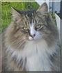 Stickers the Maine Coon