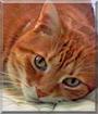 Tiger the Orange Tabby