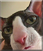 Oedipus Rex the Cornish Rex