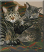 Jersey and Holstein the Domestic Shorthairs