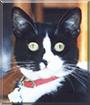Alice the Tuxedo Shorthair