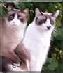 Sweeney and Todd the Snowshoe Siamese