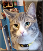 Hurricane the American Shorthair Tabby