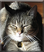Mussi the American Shorthair