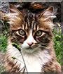 Gimli the Norwegian Forest Cat mix