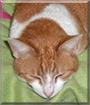 Minki the Orange Tabby