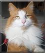 Schpitz the Norwegian Forest Cat