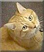 Morris the Ginger Tabby
