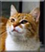 Maqo the Shorthair Cat