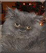 Milly the Persian
