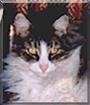 Misha the American Domestic Cat