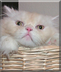 Kitty the Ragdoll