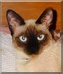 Mika the Siamese