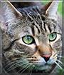 Zelda the Norwegian Forest Cat mix