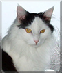 Buttons the Maine Coon mix
