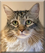 Nancy the Maine Coon mix