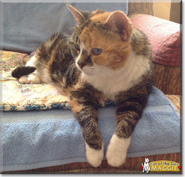 Maggie the Calico Cat, the Cat of the Day