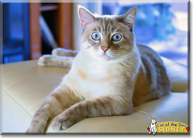 Tabby siamese mix kitten