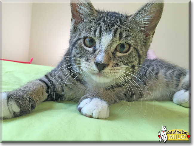 Milo As A Name For A Tabby Cat