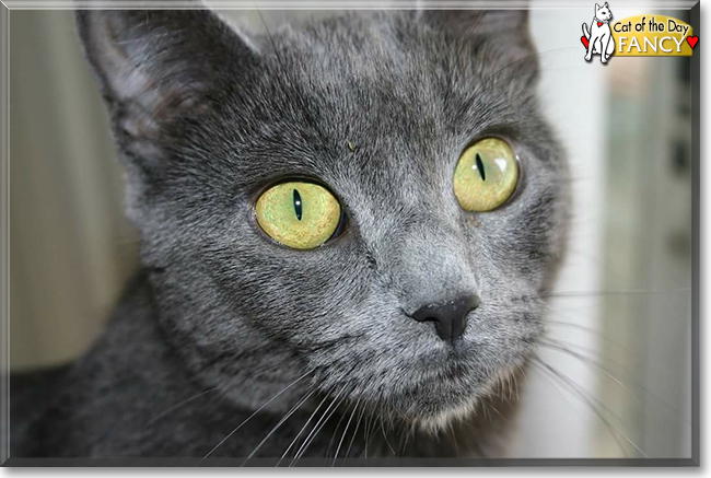 Fancy - Russian Blue mix - June 21, 2016