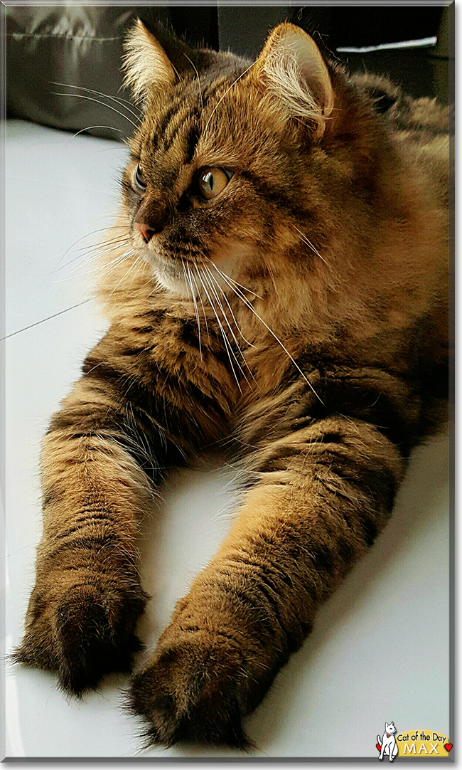 Maine coon in malaysia
