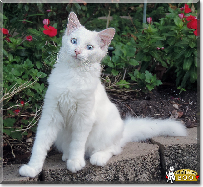 a8af497b0b Boo - Turkish Angora mix - April 9