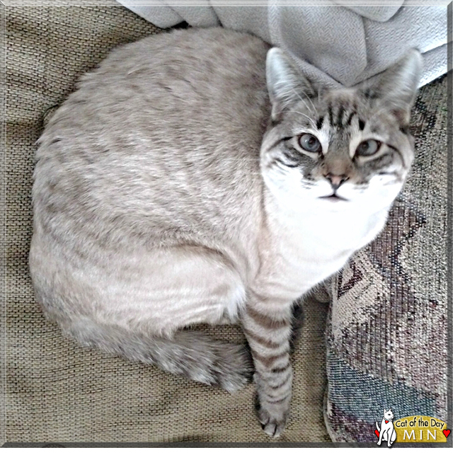 Siamese tabby mix cat looking at camera | One Writer's Way