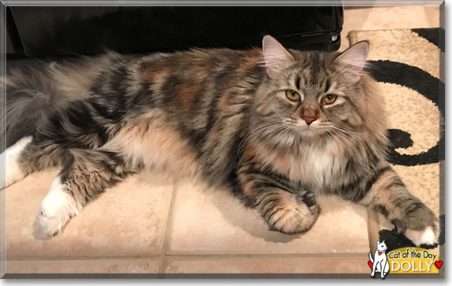 Mix maine ragdoll coon and seattle pets
