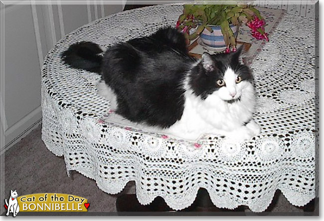 Bonnibelle the Domestic Longhair, the Cat of the Day